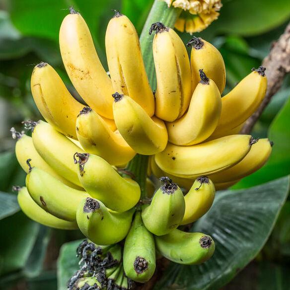 Banane Bio Terre Adelice