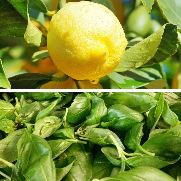 Citron Basilic Bio Terre Adelice