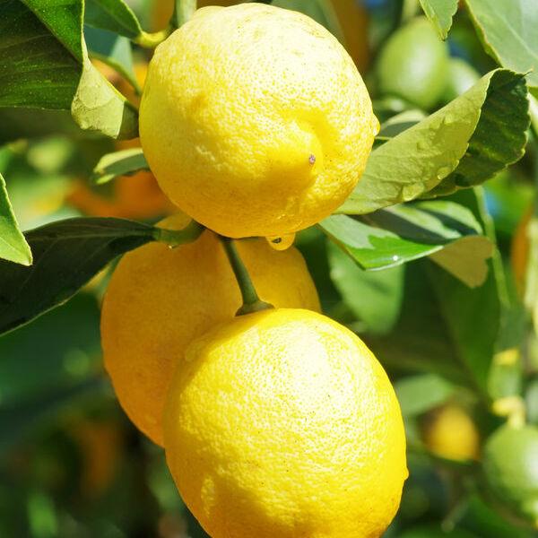 Citron Bio Terre Adelice
