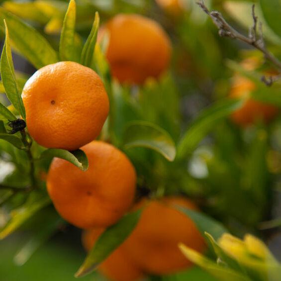 Clementine Bio Terre Adelice