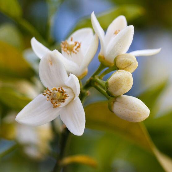 Fleur d'Oranger Bio Terre Adelice
