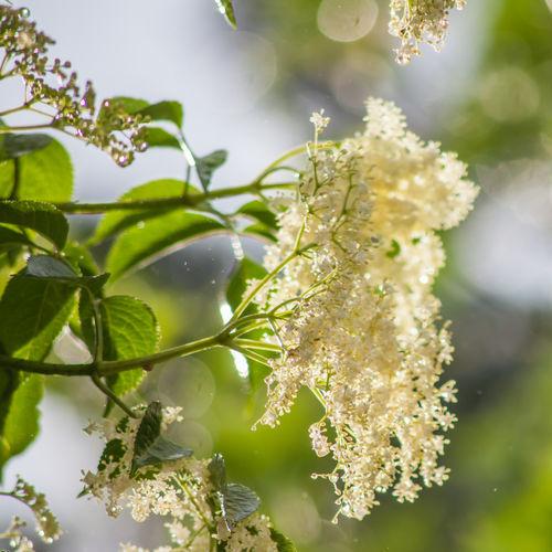 Fleur de Sureau Bio Terre Adelice