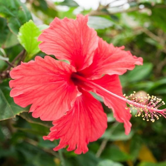 Hibiscus Bio Terre Adelice