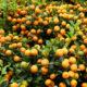 Kumquat Bio Terre Adelice
