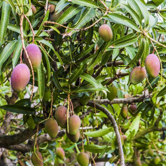 Mangue Bio Terre Adelice