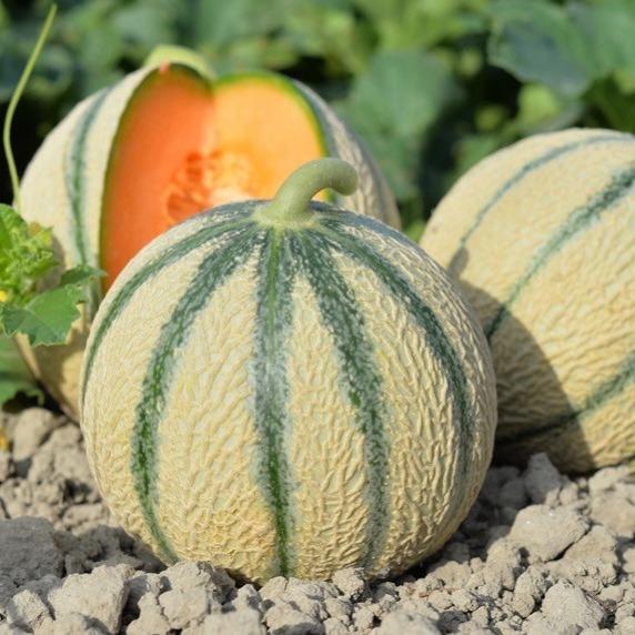 Melon Bio Terre Adelice