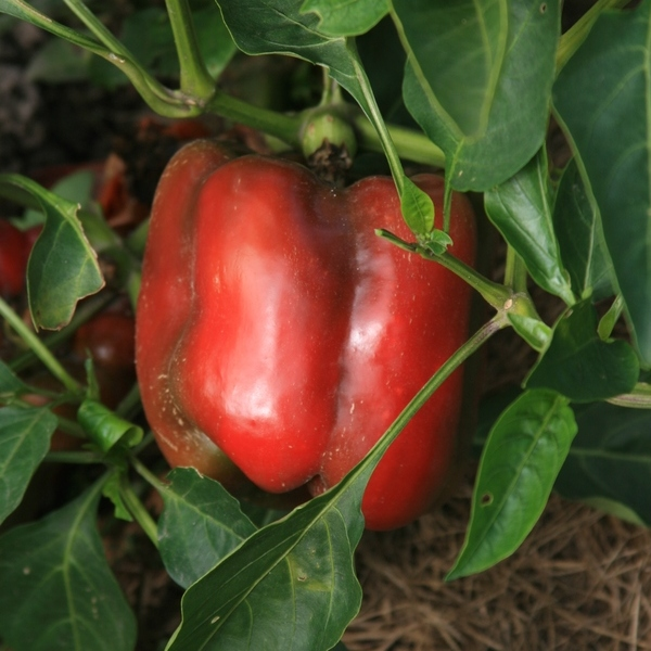Poivron Rouge Bio Terre Adelice