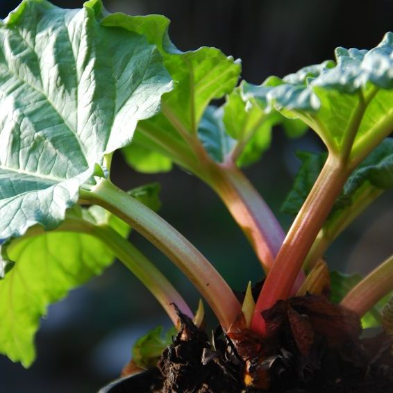Rhubarbe Bio Terre Adelice