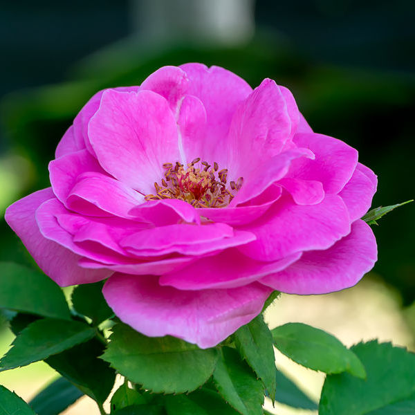 Rose Bio Terre Adelice