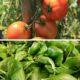 Tomate au Basilic Bio Terre Adelice